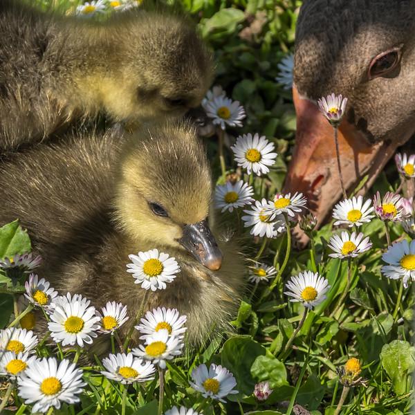 Daisy Duckling