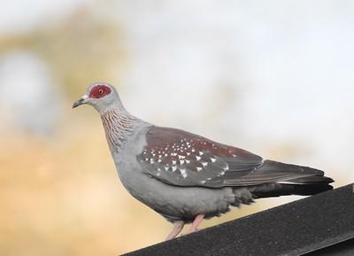 A 19 Pigeons,Doves-Tauben
