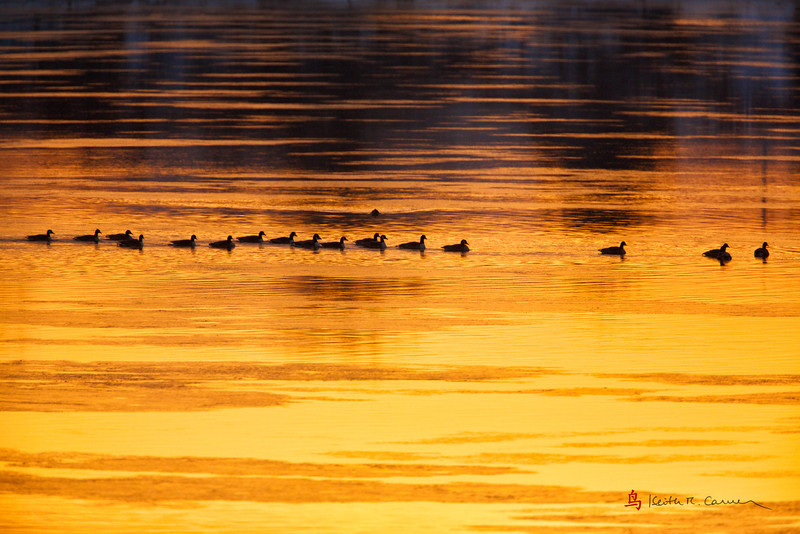 Canada Geese at dawn on the Connecticut River