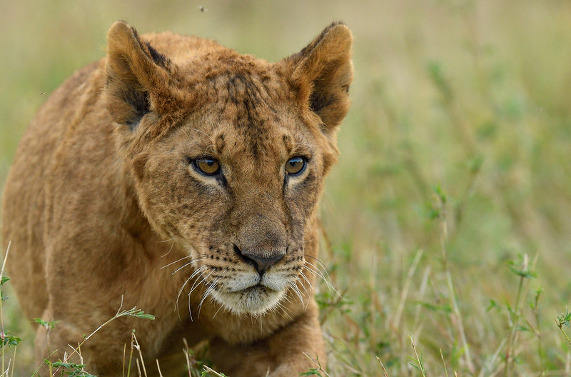 Lion-cub-intensity-masaimara.jpg