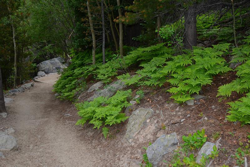 Trail Ferns