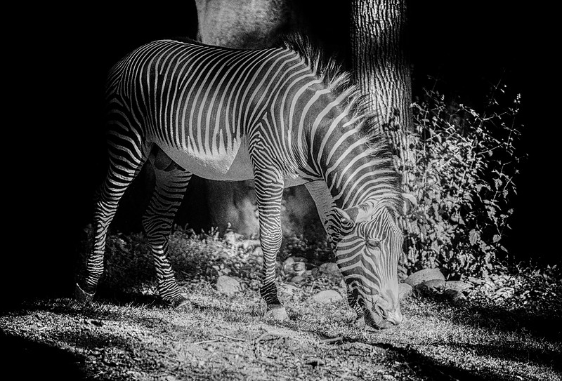 zebra zebra.jpg