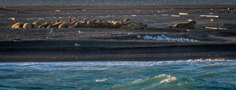 Moffen (Walruses)