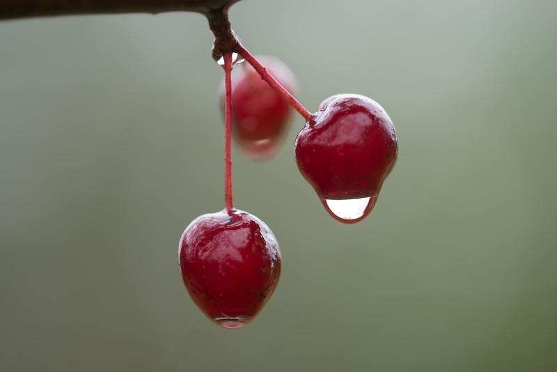 Crabapple drip