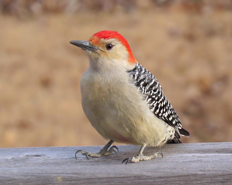 sx50_red_bellied_woodpecker_345.jpg