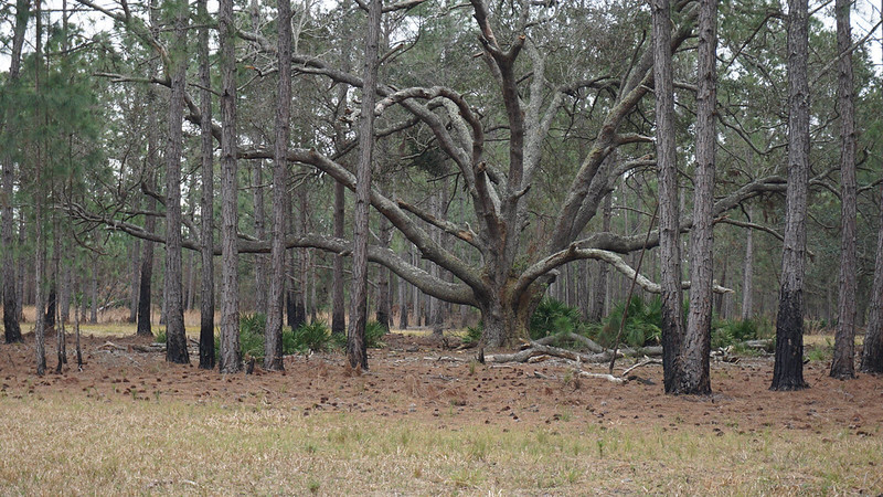 A live oak ringed by pines