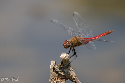 Dragonflies, Santee Lakes 2019