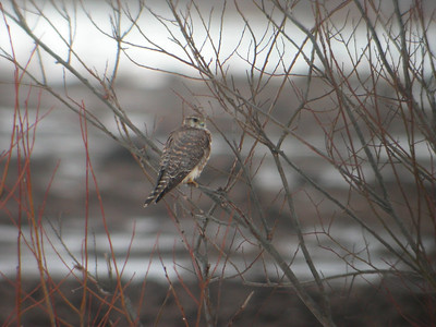 Ampuhaukka (Falco columbarius)