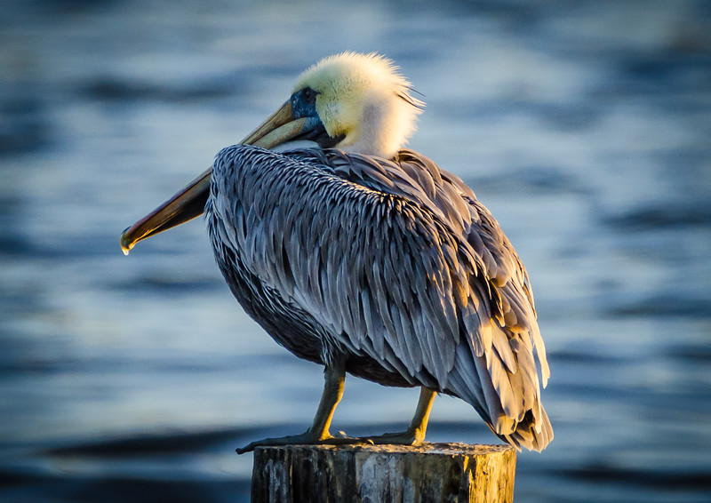 Pelican yellow hair 102916 (1 of 1).jpg