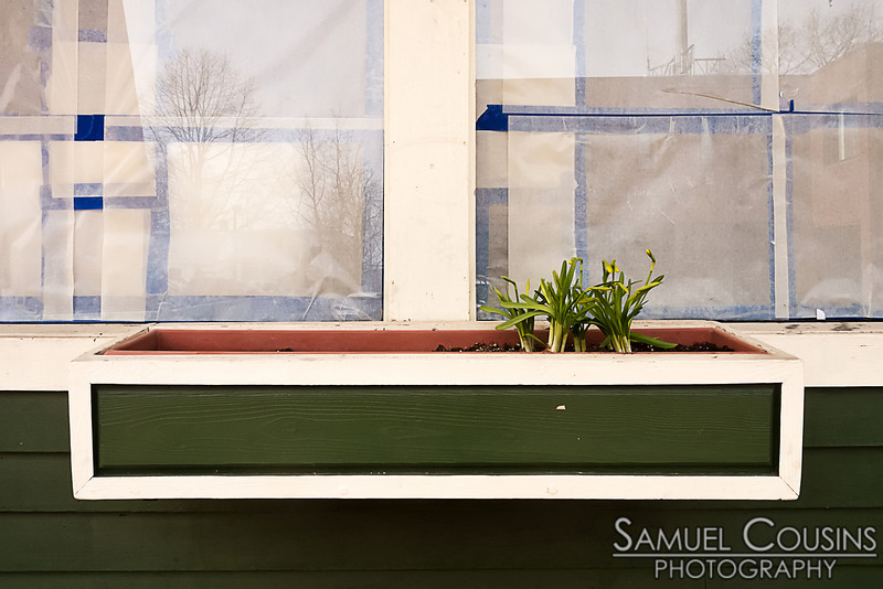 Daffodils coming up in the planter box in Colucci's window.
