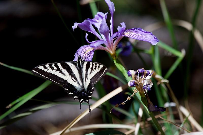 Pale Swallowtail (Papilio eurymedon) on an Iris