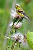 Yellow Finch PSE IMG_9129