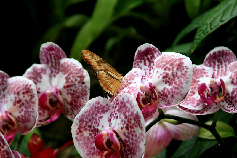 20140510_IMG_0008398 Butterfly on Orchid.jpg