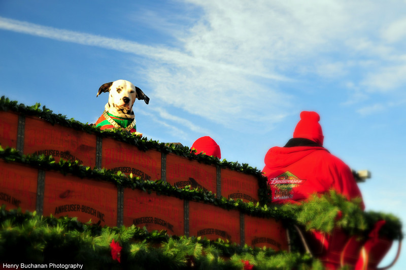 Meet Buddy-- The Budweiser dog up close and in person!