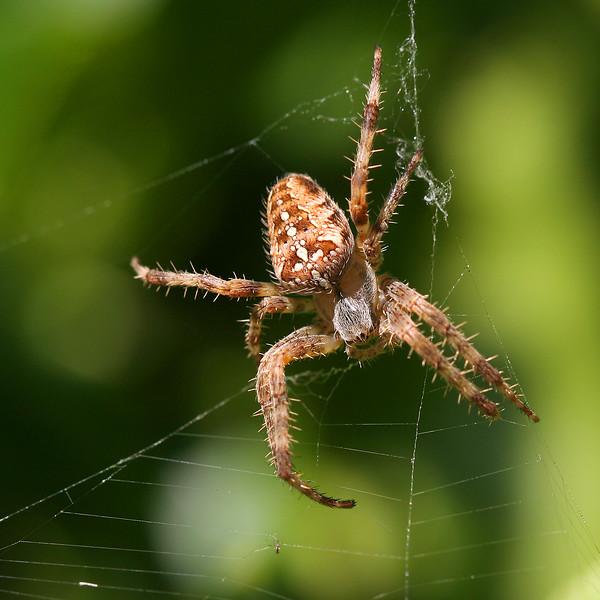 1725 Spider.jpg