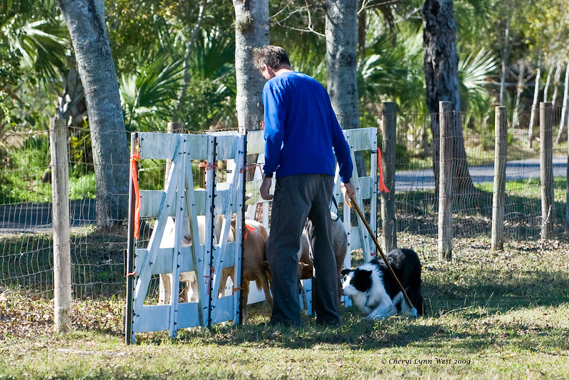 #507 - Moss, a Border Collie, qualified on the HRD II course for second place.  He is owned by Mark Hansen.