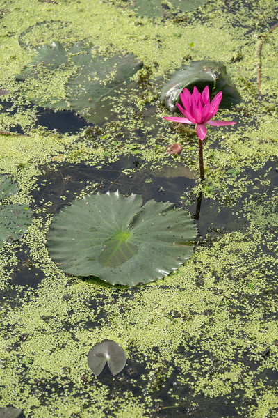 Water lilly and water lilly pad