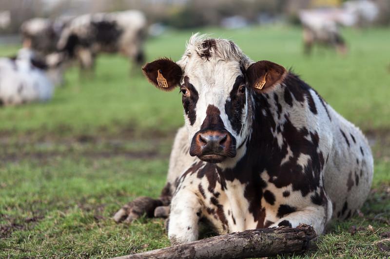 vache (1 sur 21).jpg