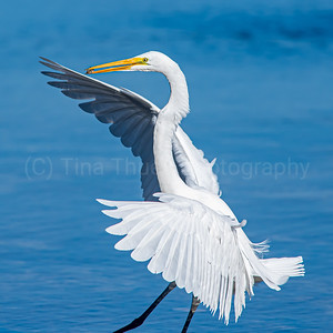 Great White Egret and Blue Heron