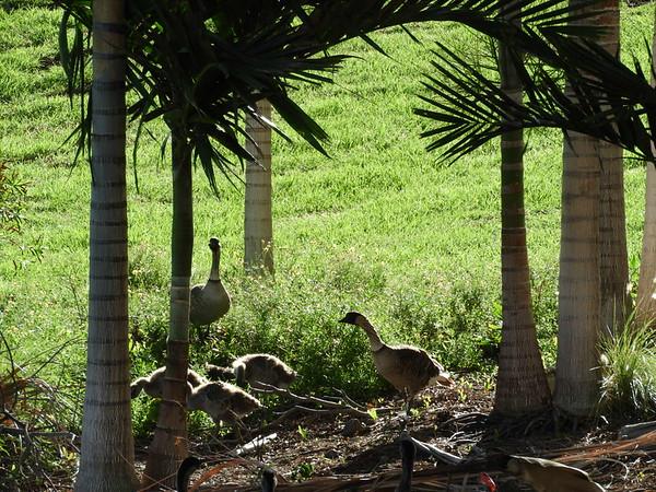 Nene - Hawaii State Bird