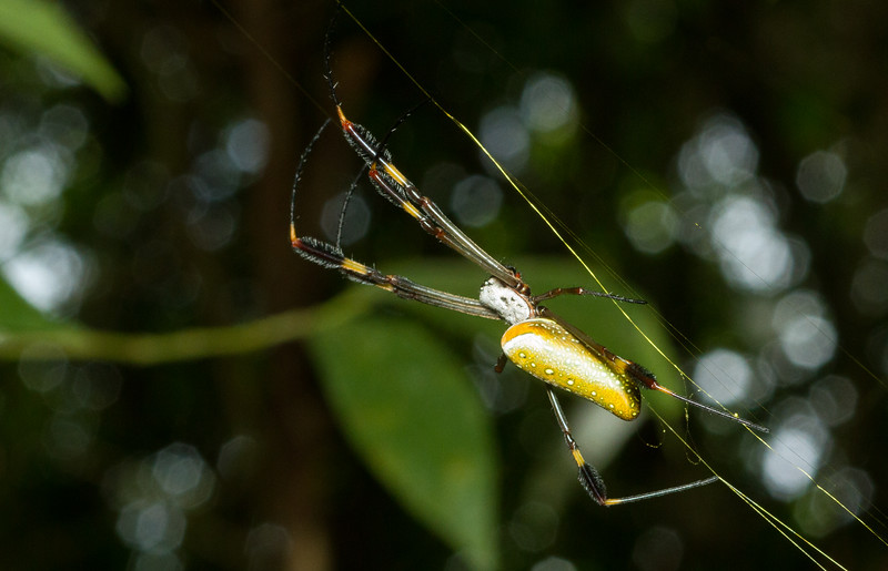 Golden orb-weaver, Nephila clavipes, from Panama. These enormous spiders produce silk that is significantly stronger than steel while maintaining elasticity, making it a unique biopolymer that is currently being investigated for medical and military applications.