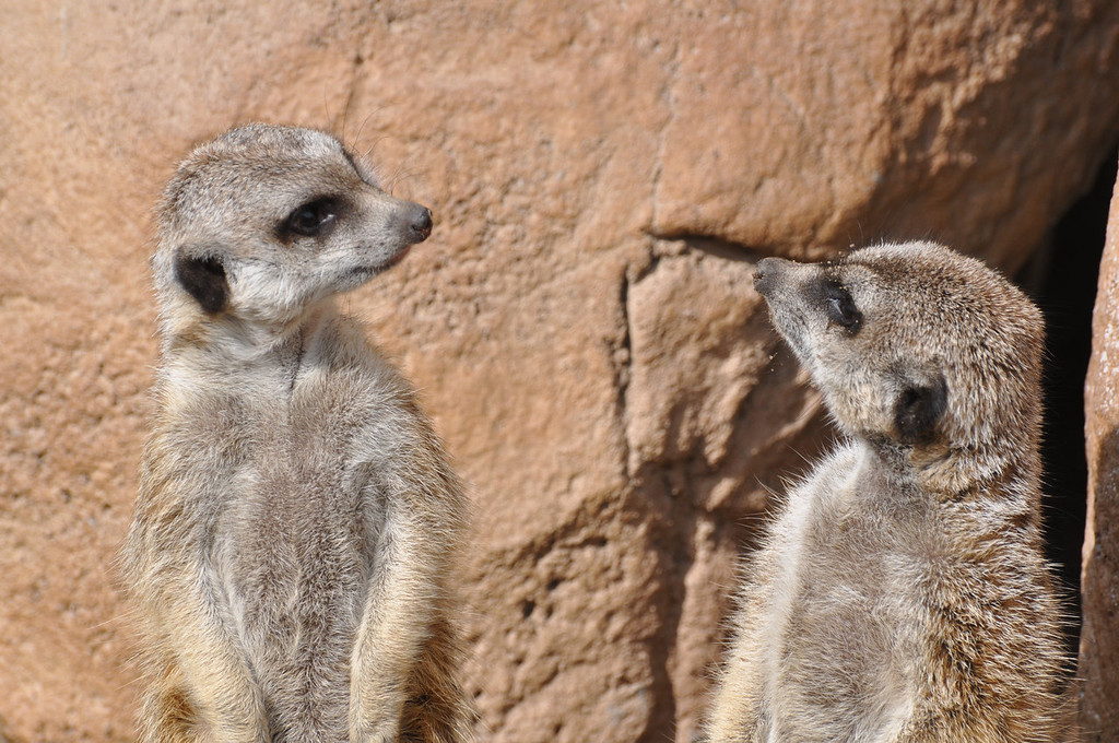 """. The Cheyenne Mountain Zoo in Colorado Springs has seven meerkats in different \""""mobs\"""" and offers a meerkat cam on its website (cmzoo.org/animalsPlants/animalCams/meerkatCam.asp).  Photo provided by Cheyenne Mountain Zoo"""