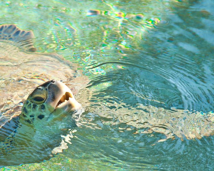 Turtle - Bahamas