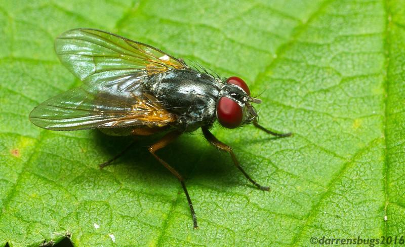 House fly, Muscidae, from Iowa.