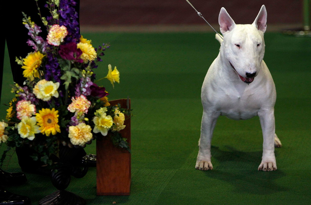 Description of . A Miniature Bull Terrier named Kid poses for a photo after winning Best in Breed during the 137th Westminster Kennel Club Dog Show in New York, February 12, 2013. More than 2,700 prized dogs will be on display at the annual canine competition. Two new breeds, the Russell terrier and the Treeing Walker coonhound, will be introduced in the contest.  REUTERS/Carlo Allegri