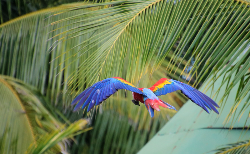 blue and yellow scarlet macaw in flight