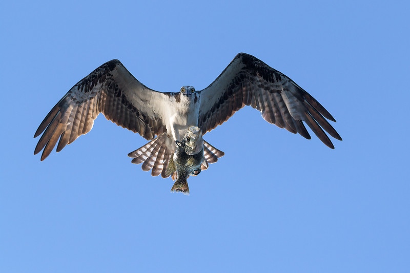 2021_KSMetz_Florida_Osprey Trip_April08 and 09_NIKON D850_6249-Edit.jpg