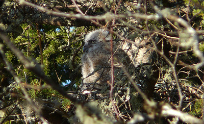 Great Horned owl family 1