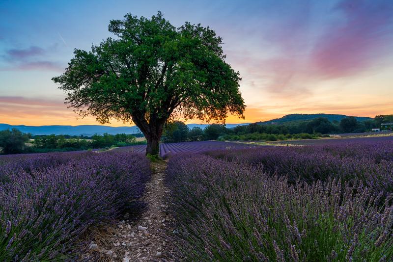 Oaktree in lavender field at sunrise