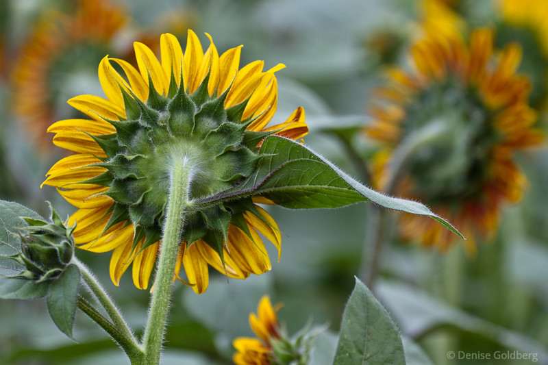 a sunflower, as detailed from behind