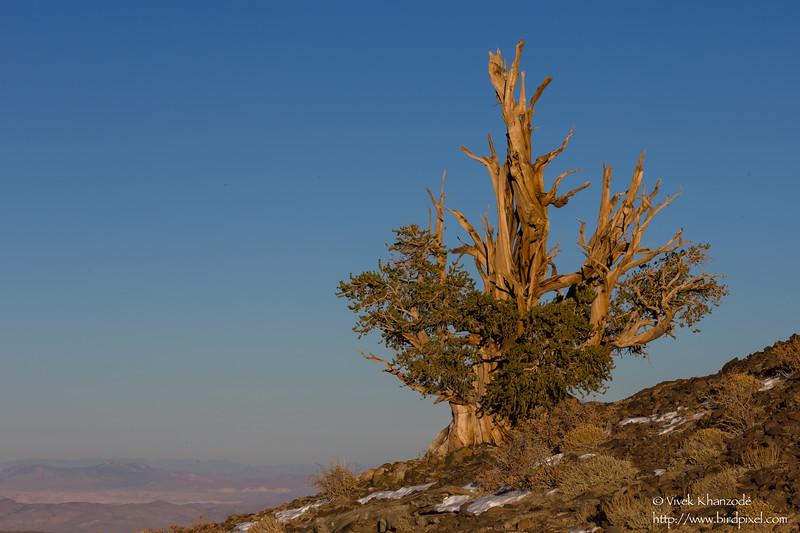 Bristlecone Pine tree in golden light - Ancient Bristlecone Pine forest, Lone Pine, CA