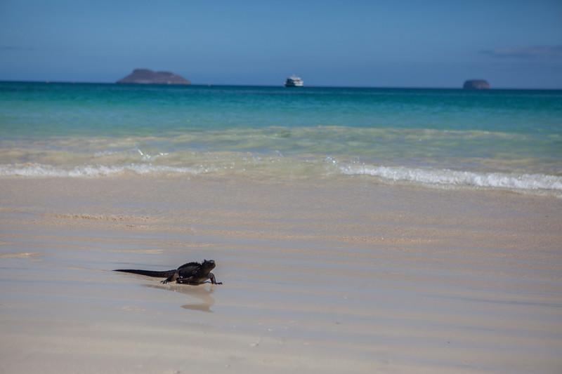 Marine Iguana @ Las Bachas, Santa Cruz.jpg
