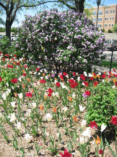 Tulips & Lilacs