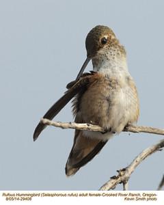 Rufous Hummingbird F29408.jpg