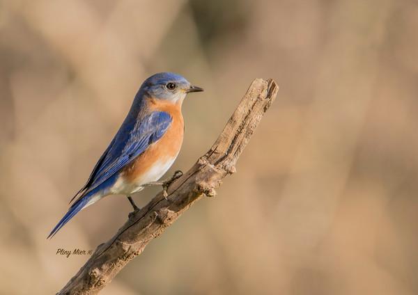 Eastern Bluebird_DWL1483.jpg