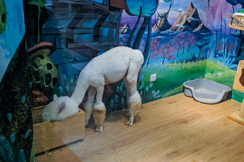 """Yep, that's a llama. In a mall. Part of a """"cute animal cafe"""" like a cat cafe."""