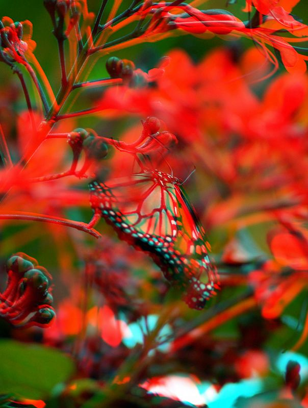 Butterfly Anaglyphs