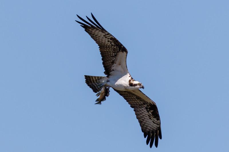 Osprey-6151.jpg