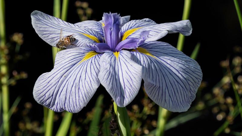 00140 Blue Iris 0050 16x9.jpg