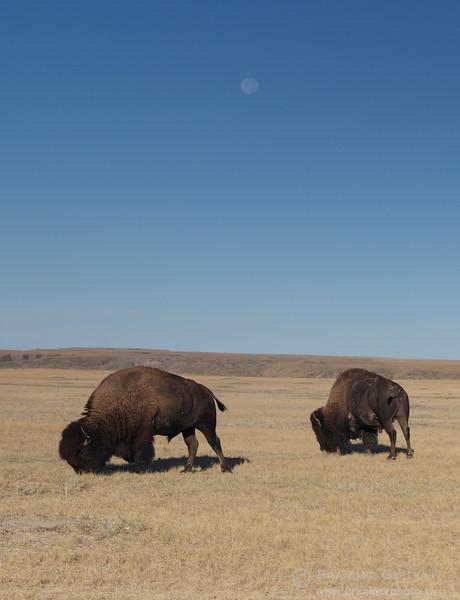 Two plains bison and harvest moon. Grasslands National Park, Saskatchewan