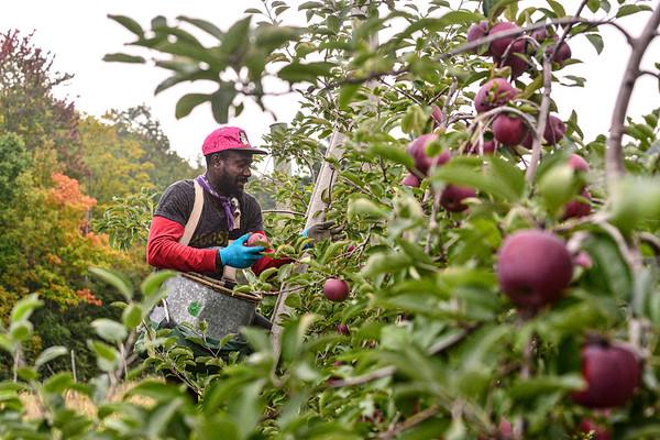 Harvesting apples - 091521