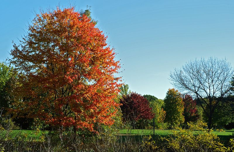 Foliage in park next Upper Mystic Lake   (Oct 17, 2004, 09:29am)  Next stop was the shore of Upper Mystic Lake on the WInchester/Medford line.  The MDC maintains a park and beach on the eastern shore of the lake.  This shot shows one of the most colorful trees in the area, looking North.  The trees in the background are all on the eastern shore of Upper Mystic Lake (which is not visible in this picture).