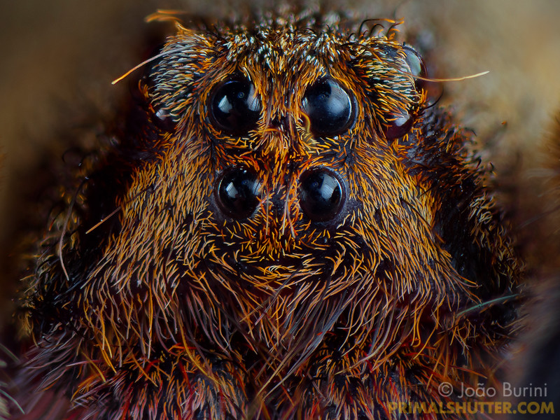 Eyes of a brazilian wandering spider