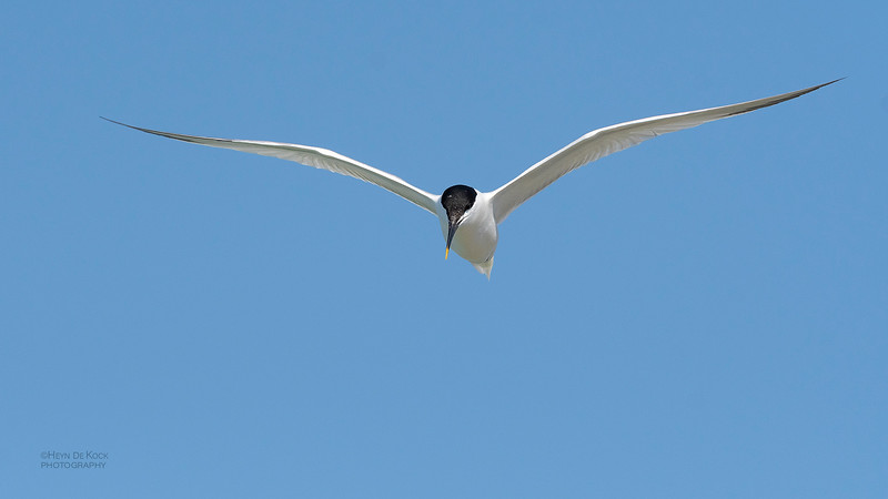 Sandwich Tern, Fort De Soto, St Petersburg, FL, USA, May 2018-1.jpg