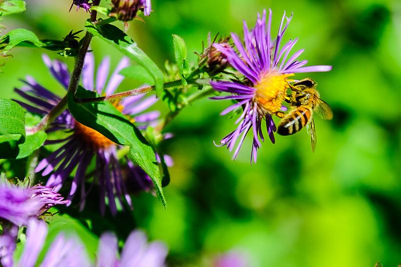 20170914 Wild Flowers-0173 BEES.jpg