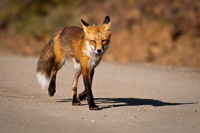 Fox, Marmot, Pika, Squirrel